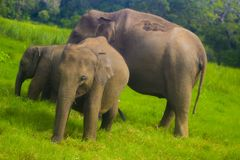 Parc national de minneriya sauvage asiatique d'Eliphant - du Sri Lanka photos stock