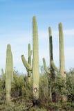 Parc national de Saguaro de paysages, Arizona Photographie stock libre de droits