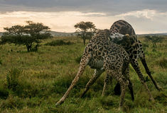Parc national de Serengeti, Tanzanie - combat de girafes Photos stock