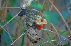 Parc national de Yala de lézard de Chambre images stock