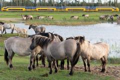 Parc national néerlandais Oostvaardersplassen avec le troupeau de chevaux de konik Photos stock