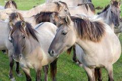 Parc national néerlandais Oostvaardersplassen avec le troupeau de chevaux de konik Images stock