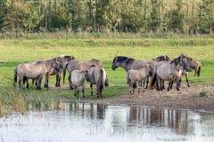 Parc national néerlandais Oostvaardersplassen avec le troupeau de chevaux de konik Photos libres de droits