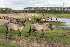 Parc national néerlandais Oostvaardersplassen avec le troupeau de chevaux de konik Image libre de droits