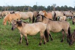 Parc national néerlandais Oostvaardersplassen avec le troupeau de chevaux de konik Photo libre de droits