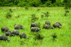 Parc national Ouganda de Buffalo d'eau Images stock
