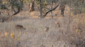 Parc national repéré d'axe d'axe de cerfs communs, Inde clips vidéos