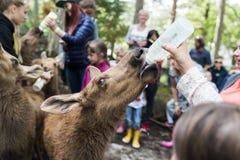 Parc Norvège d'orignaux d'Elgtun Images libres de droits