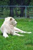Parc Park Safari, Hemmingford, Quebec, Canada. Rare white lion at the Parc Park Safari, located in Hemmingford, Quebec, Canada stock images