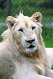 Parc Park Safari, Hemmingford, Quebec, Canada. Rare white lion at the Parc Park Safari, located in Hemmingford, Quebec, Canada stock image