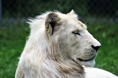 Parc Park Safari, Hemmingford, Quebec, Canada. Rare white lion at the Parc Park Safari, located in Hemmingford, Quebec,Canada stock photo