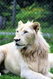 Parc Park Safari, Hemmingford, Quebec, Canada. Rare white lion at the Parc Park Safari, located in Hemmingford, Quebec, Canada royalty free stock photos