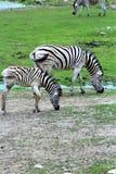 Parc Park Safari, Hemmingford, Quebec, Canada. Damara Zebra at the Parc Park Safari, located in Hemmingford, Quebec, Canada stock photography