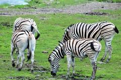 Parc Park Safari, Hemmingford, Quebec, Canada. Damara Zebra at the Parc Park Safari, located in Hemmingford, Quebec, Canada royalty free stock image