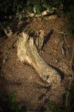 Parc putréfié Disley, Stockport, parc national Cheshire England de Lyme de racine de secteur maximal Photographie stock