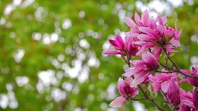 Parc rose de fleur d'arbre de magnolia personne banque de vidéos