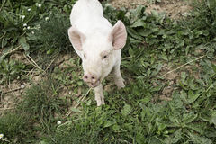 Parc rose de porc Photos stock