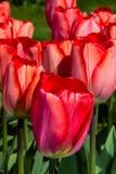 Parc rouge de jardin de Keukenhof de tulipes Images libres de droits