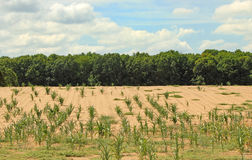 Parched Cornfield Stock Photo
