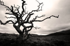 Parched single tree. In serene Scottish landscape imbedded in mystical atmosphere stock photos