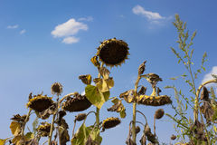 Parched sunflowers Royalty Free Stock Images