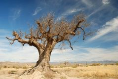 Parched tree in the desert Stock Photography