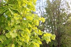 Parcheggi nella città, i giovani germogli degli alberi in primavera Fotografie Stock Libere da Diritti