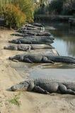 Parcheggio del coccodrillo Fotografie Stock