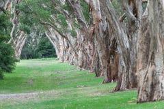 Parco centennale a Sydney, Australia Alberi sempreverdi spessi del tè Immagine Stock Libera da Diritti