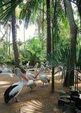 Parco degli uccelli e dei rettili in Bali, pellicani in Bali Immagini Stock Libere da Diritti