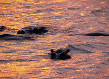Parco del kruger degli ippopotami Immagini Stock Libere da Diritti