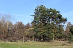 Parco del pino in primavera Immagine Stock Libera da Diritti