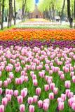 Parco della primavera, tulipani in priorità alta Fotografie Stock Libere da Diritti