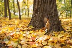 Parco di autunno, scoiattolo Immagine Stock Libera da Diritti