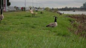 Parco di camminata del prato dell'oca canadese grigia del gruppo vicino ad acqua stock footage