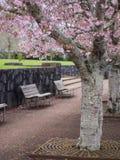 Parco di Cherry Blossom @ Cornovaglia, Auckland, Nuova Zelanda Fotografie Stock Libere da Diritti