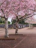 Parco di Cherry Blossom @ Cornovaglia, Auckland, Nuova Zelanda Fotografia Stock Libera da Diritti