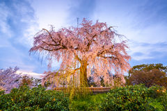 Parco di Maruyama in primavera Immagini Stock Libere da Diritti
