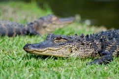 Parco di stato di due giovane degli alligatori primavere della magnolia Fotografia Stock