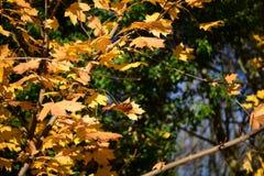 Parco di Tattingstone, Regno Unito, colori delle foglie di autunno Immagine Stock
