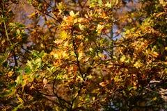 Parco di Tattingstone, Regno Unito, colori delle foglie di autunno Fotografia Stock