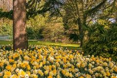 Parco idilliaco con il narciso giallo, il simbolo di cancro in Galles Immagini Stock