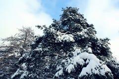 Parco innevato del pino contro il cielo blu Fotografia Stock
