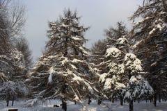 Parco innevato del pino contro il cielo cloady Immagini Stock Libere da Diritti