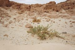 Parco in Israele del sud, fiore di Timna del deserto Immagini Stock Libere da Diritti
