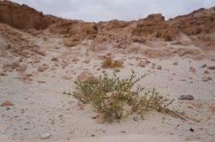 Parco in Israele del sud, fiore di Timna del deserto Fotografia Stock