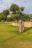 Parco Kiti Larnaca Cyprus della città di olivo Fotografia Stock