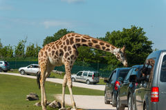 Parco Natura Viva. Is a Safari Park and Zoo near Lazise at Lake Garda where you can do a Safari with your own car royalty free stock photo