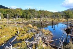 Parco nazionale con una diga dei beaverFotografie Stock