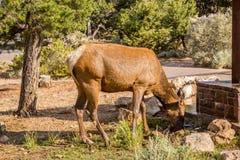 Parco nazionale del Grand Canyon Fotografie Stock